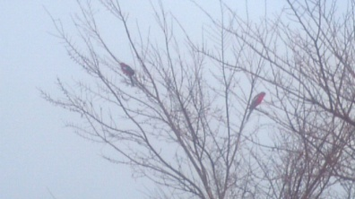 Parrots, bright spots of colour in the grey